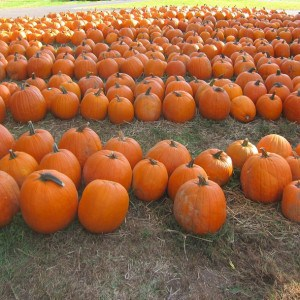 PUMPKIN PATCH TOUR AND A TOBACCO BARN TALE