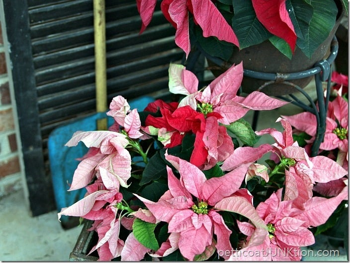 pink poinsettias Petticoat Junktion Christmas from my front porch