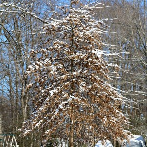 snow-covered-tree-blizzard-of-January-2016-Tennessee-Edition-Petticoat-Junktion_thumb.jpg