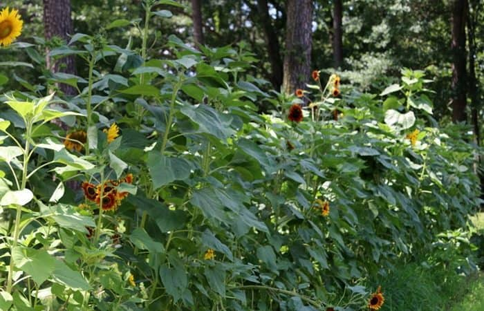 Sunflowers-in-my-Dads-garden-Petticoat-Junktion-Alzheimers-story-part-IV.jpg