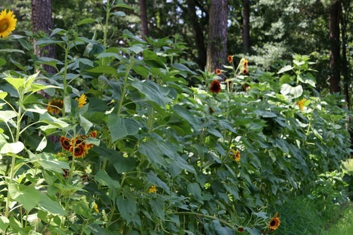 Sunflowers in my Dad's garden Petticoat Junktion Alzheimers story part IV