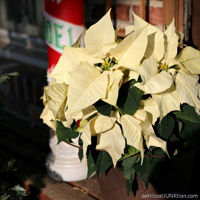 poinsettia in creamy buttery white