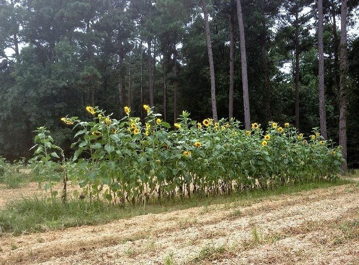 Sunflowers in dads garden