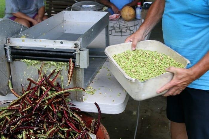 shelling purple hull peas
