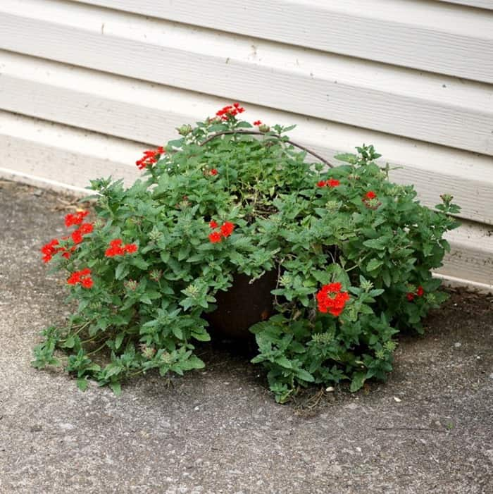 rusty iron pot with handle makes a great flower planter