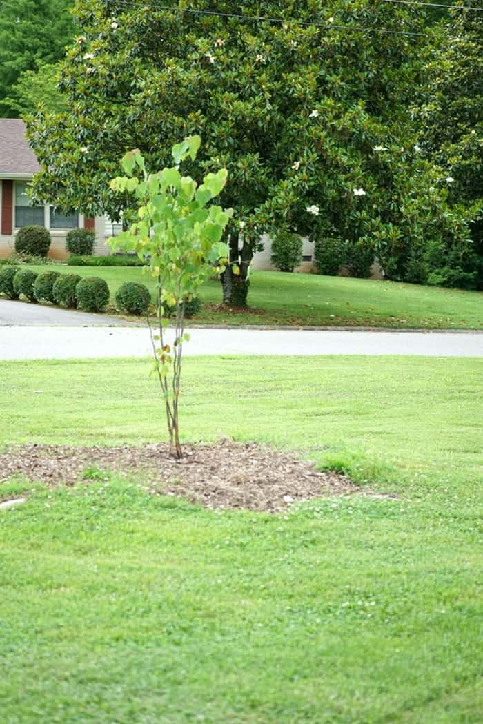tree we planted to replace the one struck by ligntning
