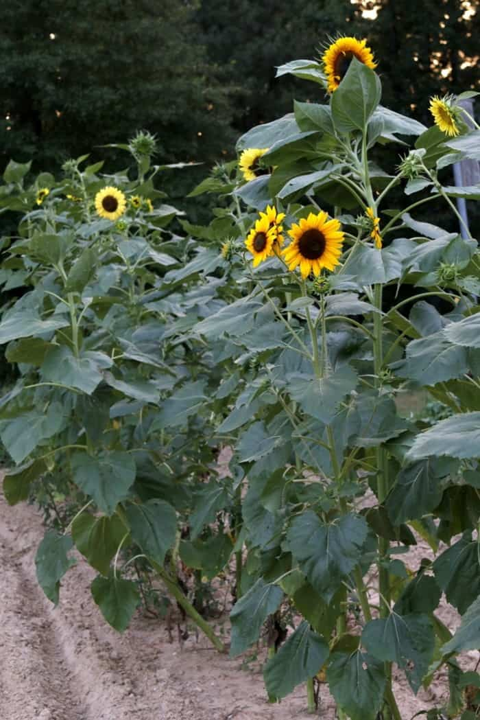 Alzheimer's story , Sunflowers in Dad's garden Arkansas