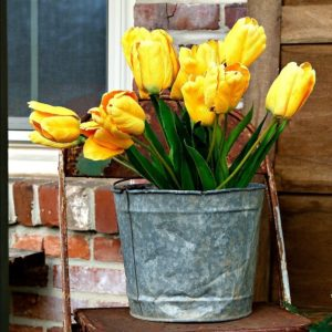 Yellow Tulips for decorating the porch