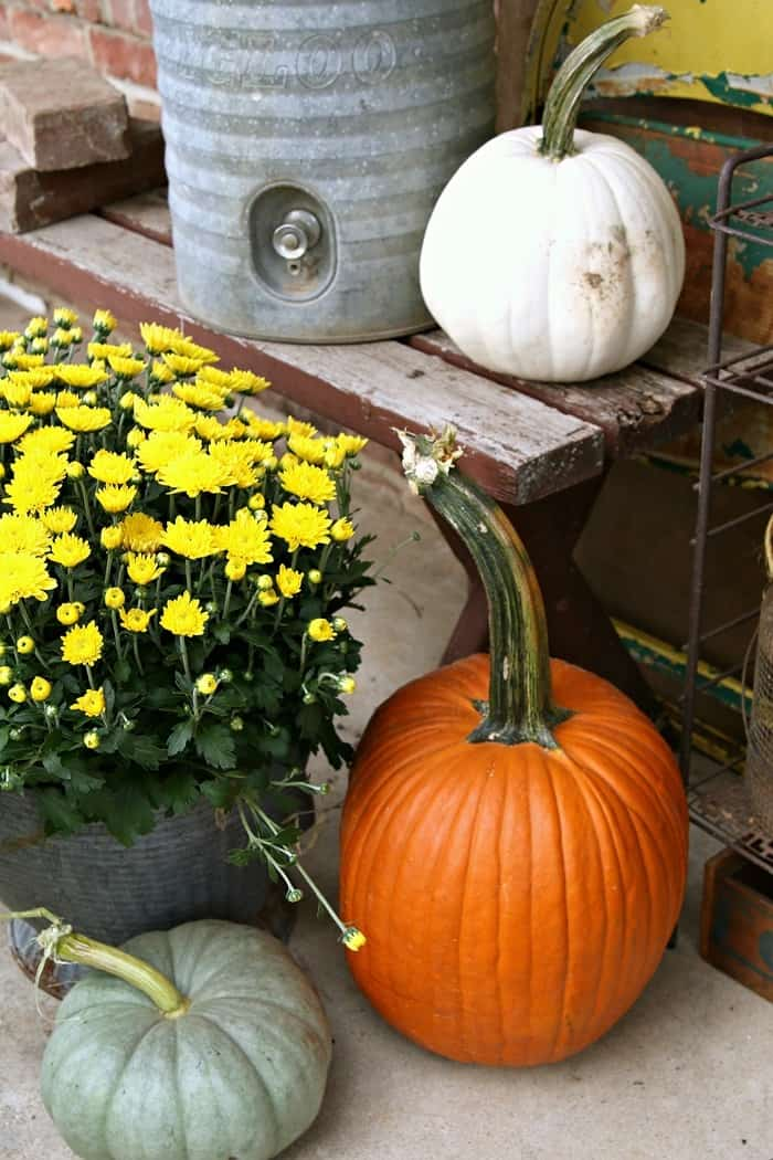 Buckets of Mums for Fall decorating