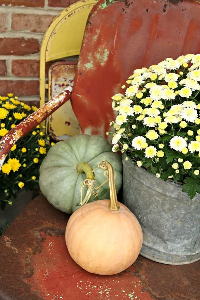 Heritage pumpkins and white mum