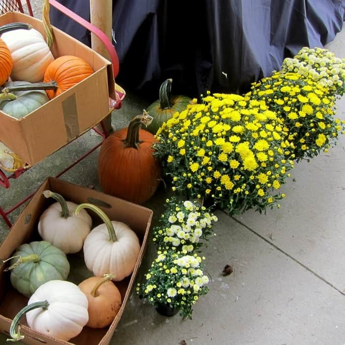 Mums and pumpkins for Fall decorating