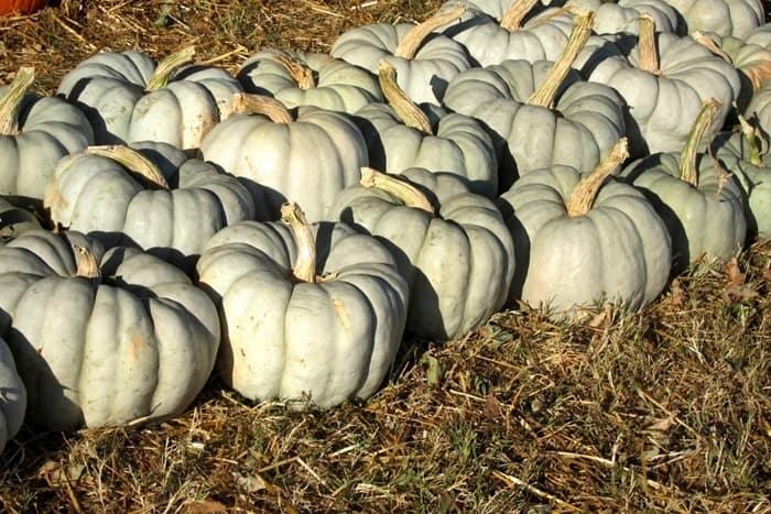 pretty blue pumpkins