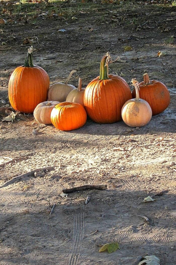 pretty pumpkins from the pumpkin patch