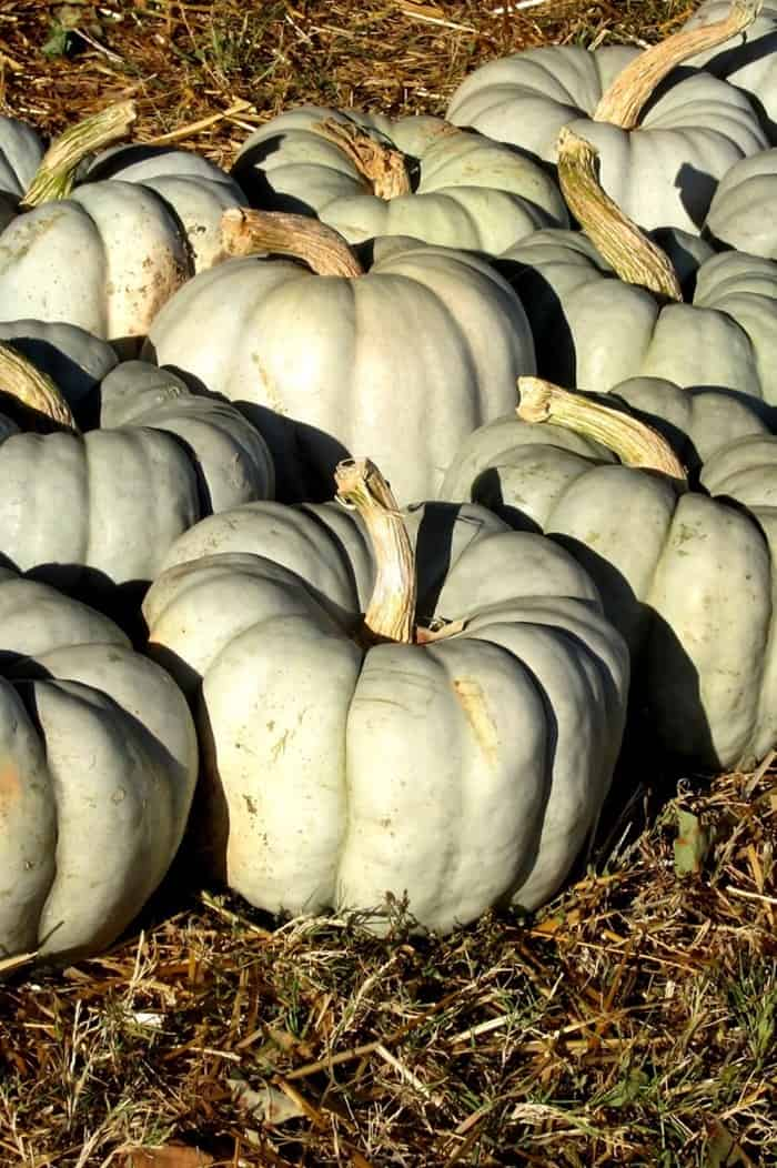 visiting the pumpkin patch and picking out blue pumpkins