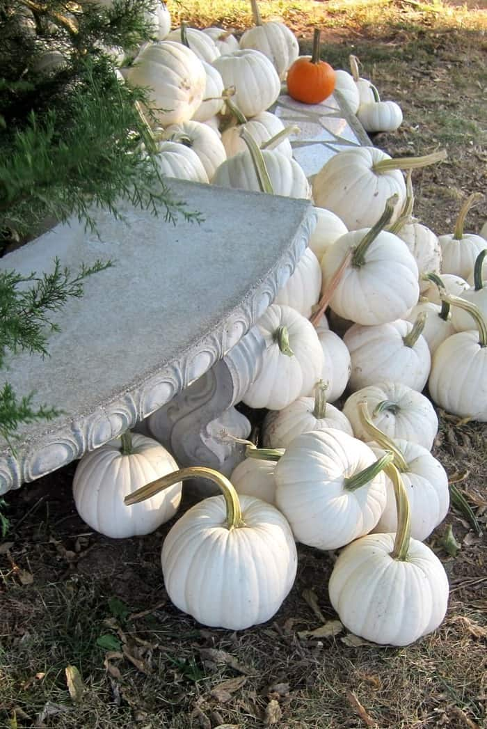 white pumpkins from the pumpkin patch
