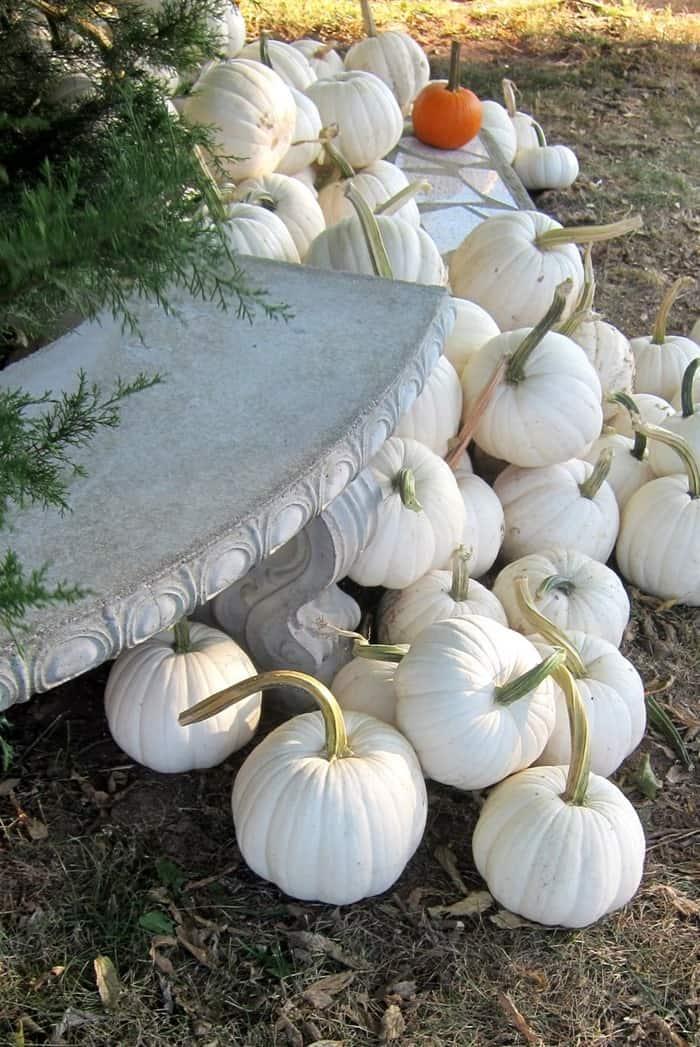 white pumpkins from the pumpkin patch