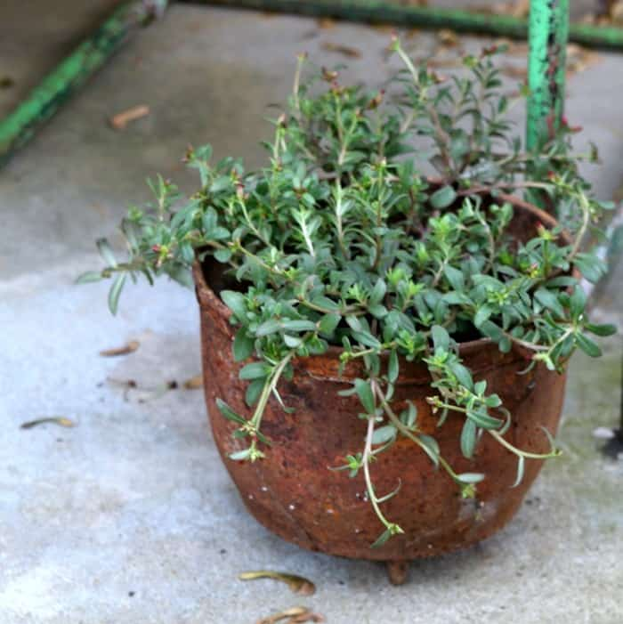 rusty pot for flowers
