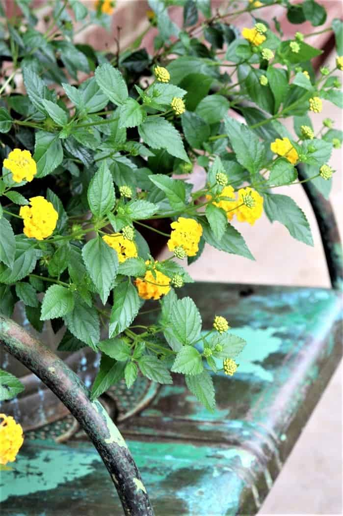 yellow lantana decorates the porch for Summer
